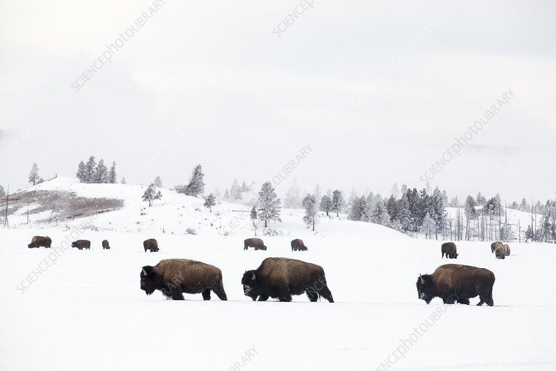Three Bison walking through snow