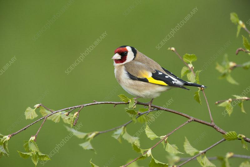 Goldfinch perched on silver birch branch, Scotland, UK
