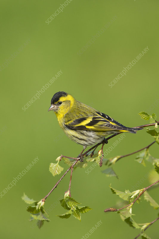 Siskin male perched on birch sprig in spring, Scotland, UK