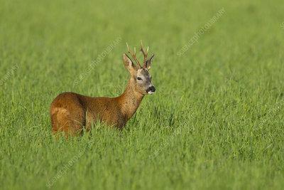 Roe deer buck in field, Scotland, UK