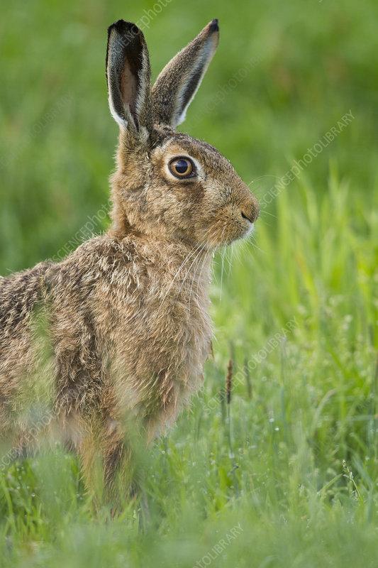 Brown hare close-up, Scotland, UK