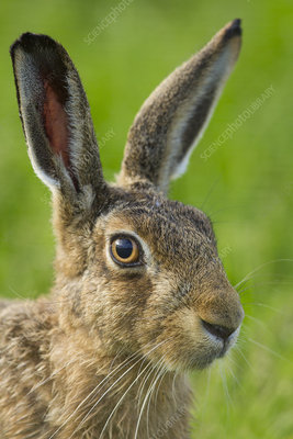 Brown hare close-up, Scotland, UK