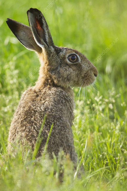 Brown hare adult in arable field, Scotland, UK