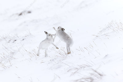 Mountain Hare two animals boxing on snowy hillside