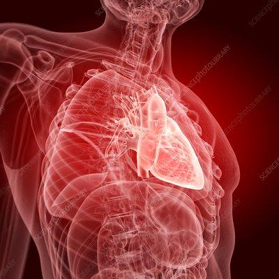 Illustration of the human heart