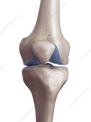 Illustration of the knee cartilage
