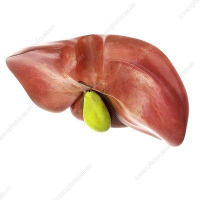 Illustration of the liver and gallbladder