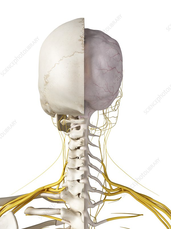 Illustration of the brain and nerves
