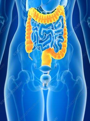 Illustration of female colon