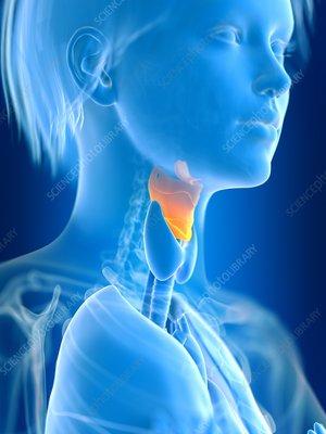 Illustration of female larynx