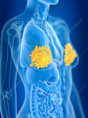 Illustration of female mammary glands