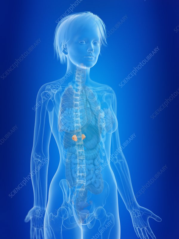 Illustration of a woman's adrenal glands