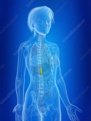 Illustration of a woman's gallbladder