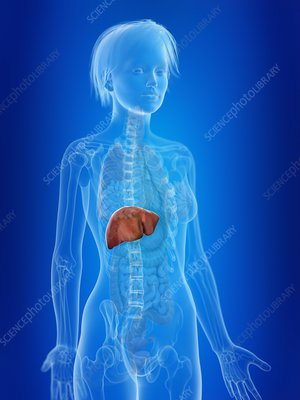 Illustration of a woman's liver