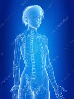 Illustration of a woman's skeleton