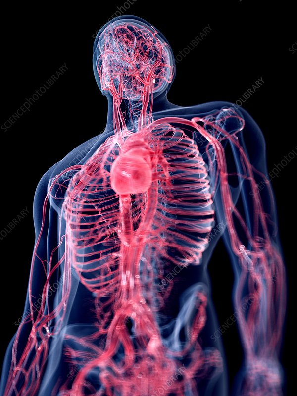 Illustration of the human vascular system