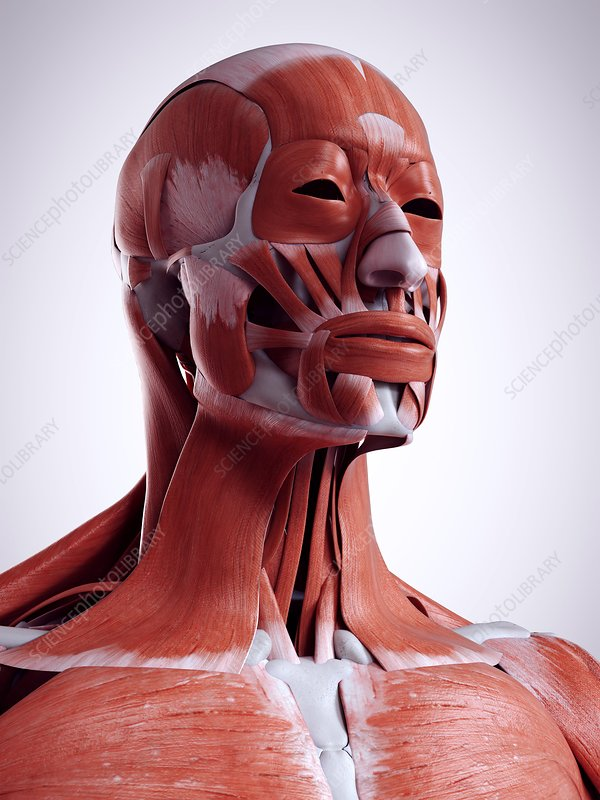 Illustration Of The Head And Neck Muscles Stock Image F0234020