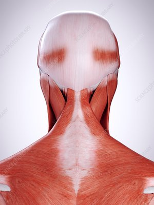 Illustration of the neck muscles