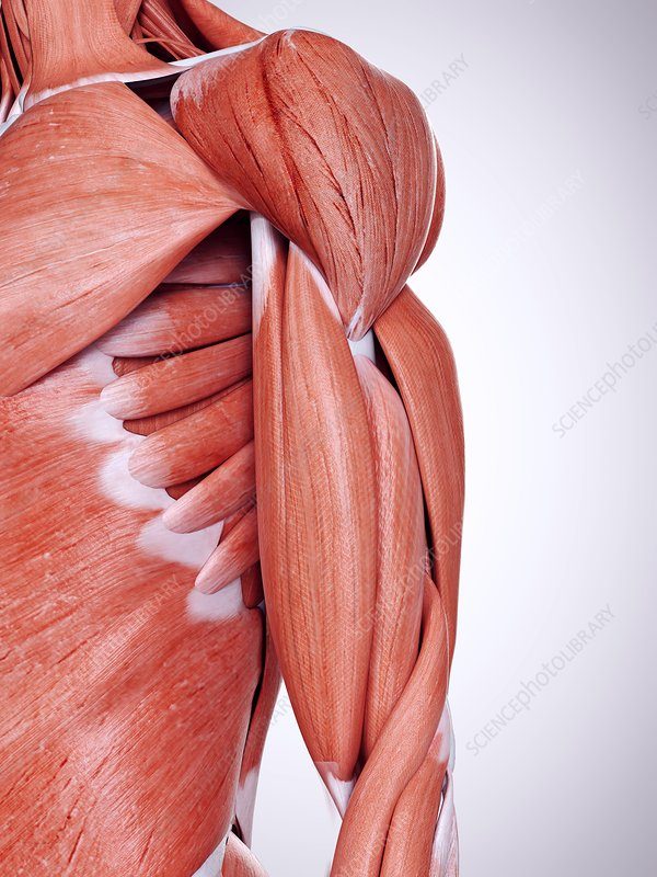 Illustration of the upper arm muscles