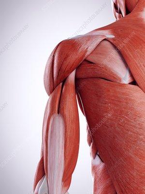 Illustration of the shoulder muscles