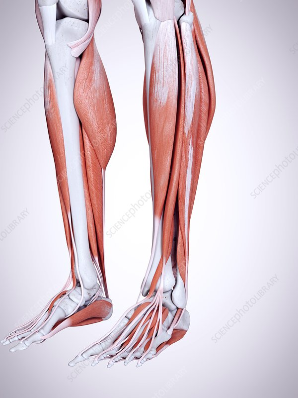 Illustration of the lower leg muscles