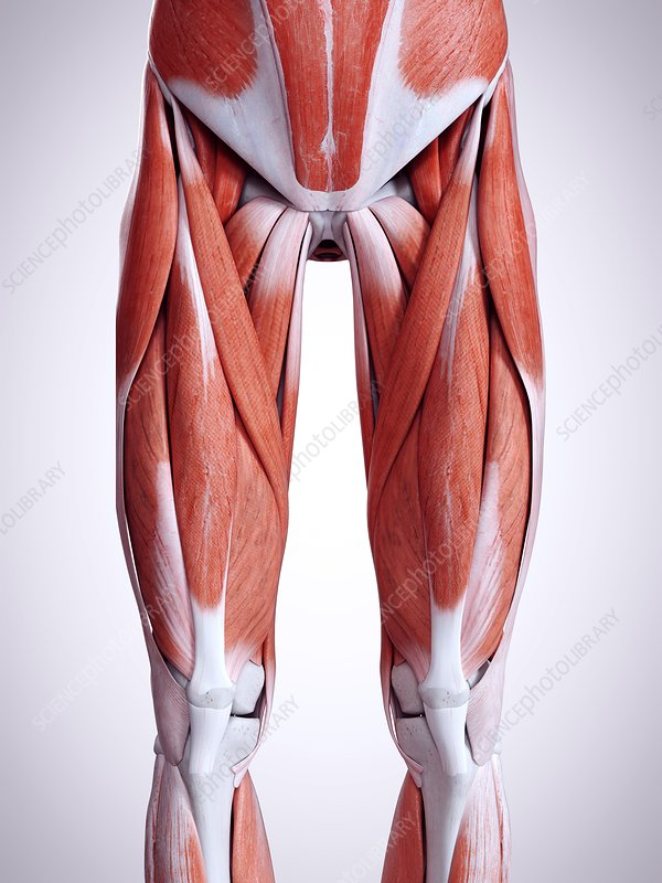 Illustration of the leg muscles