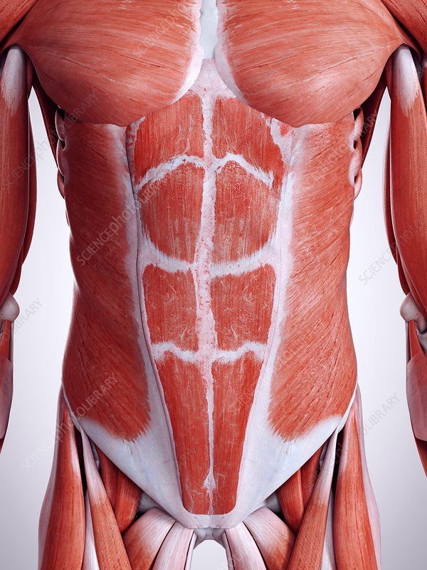 Illustration of the abdominal muscles