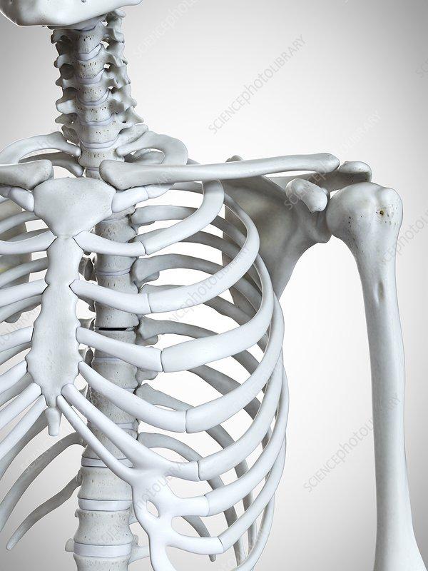 Illustration of the shoulder bones