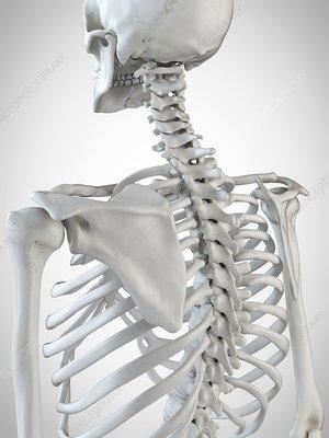 Illustration of the skeletal back