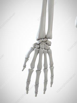 Illustration of the skeletal hand
