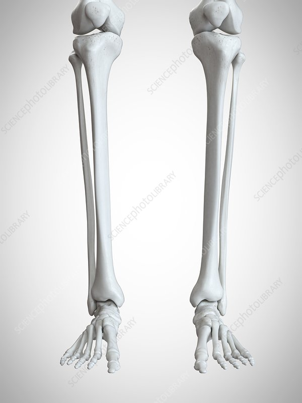 Illustration of the lower leg and foot bones