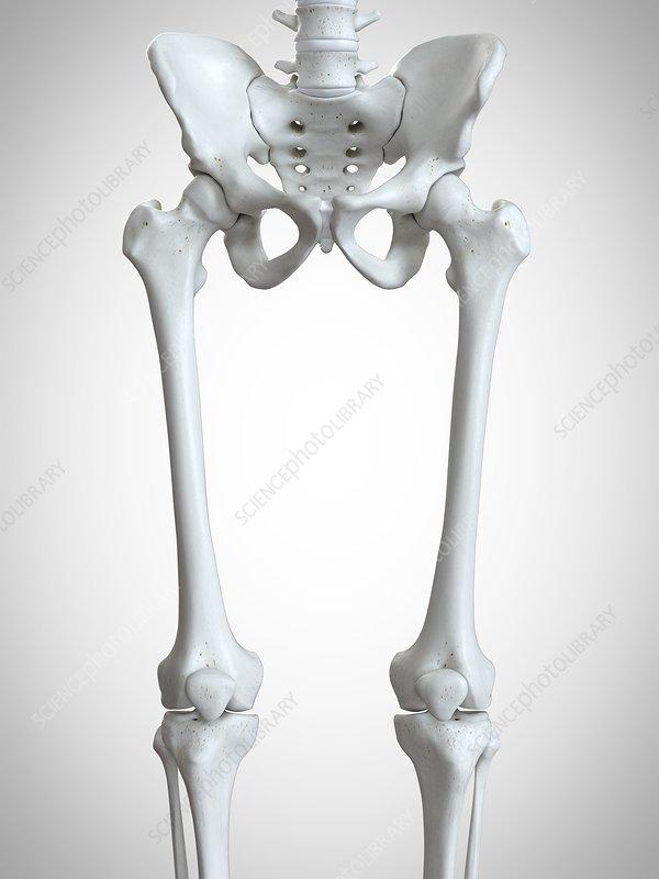 Illustration of the upper leg bones