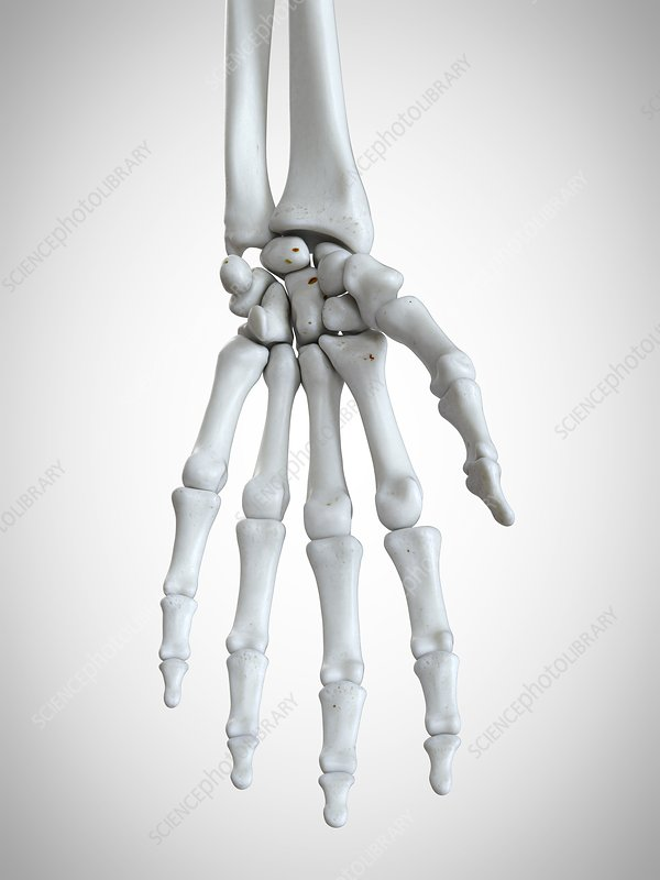 Illustration of the hand bones