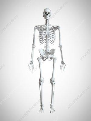 Illustration of a human skeleton