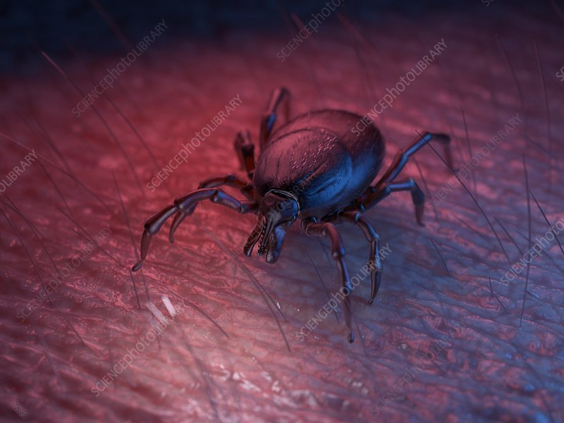 Illustration of a tick on skin