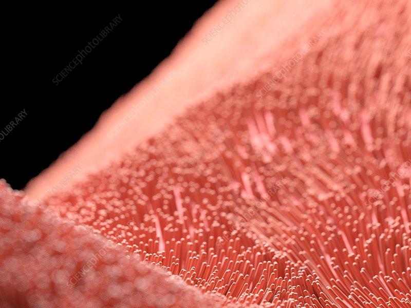 Illustration of human cilia