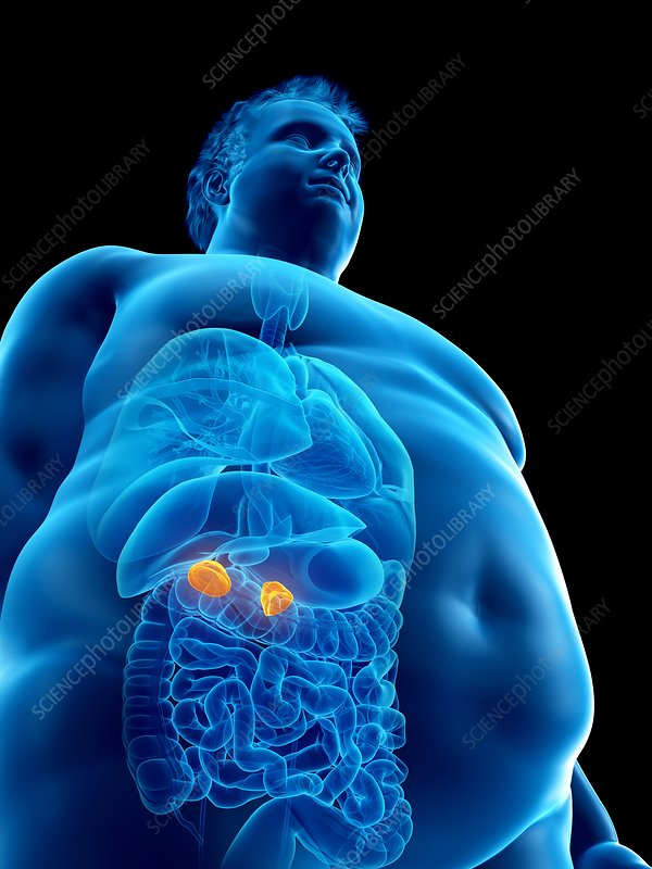 Illustration of an obese man's adrenal glands