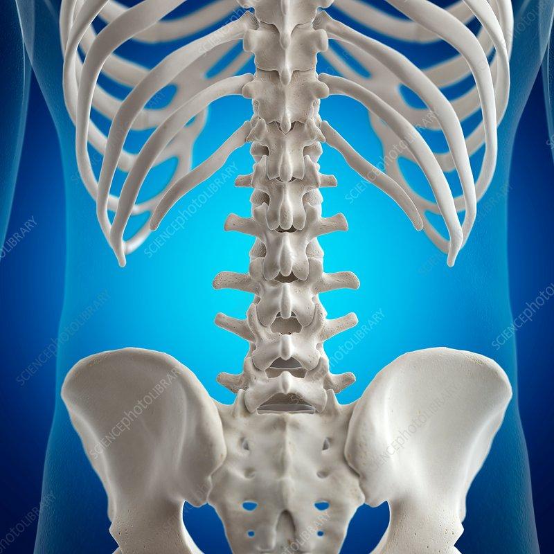 Illustration of the lumbar spine