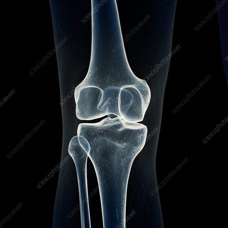 Illustration of the knee bones