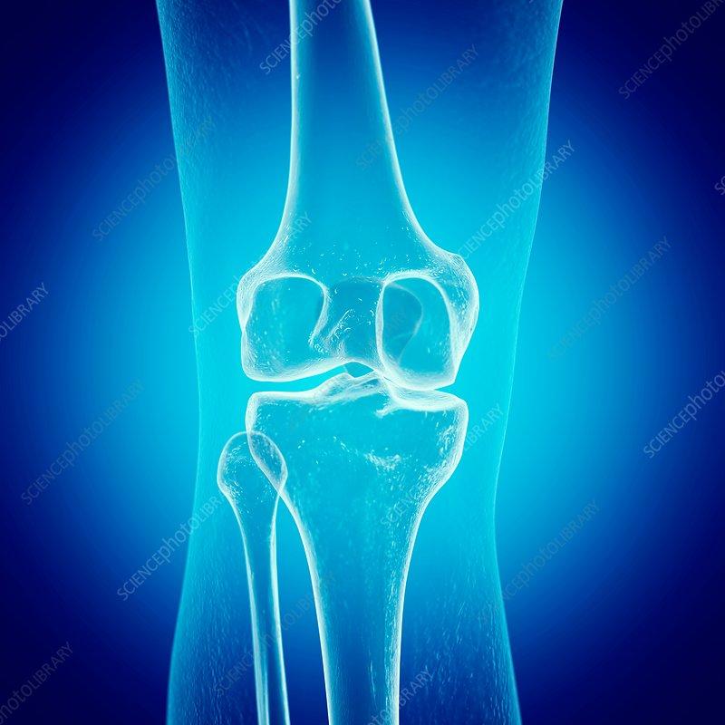 Illustration of the knee