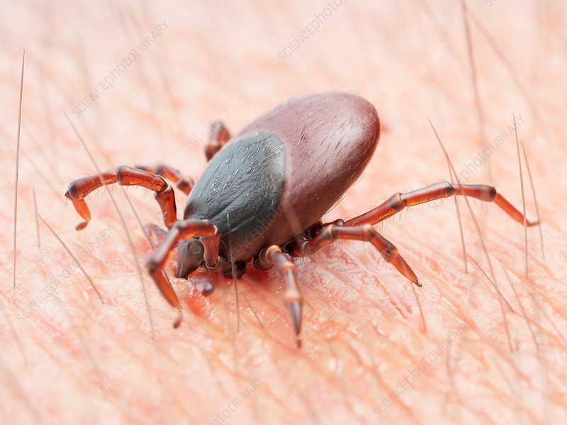 Illustration of a tick biting human skin