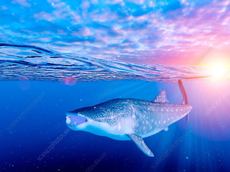 Illustration of a whale shark