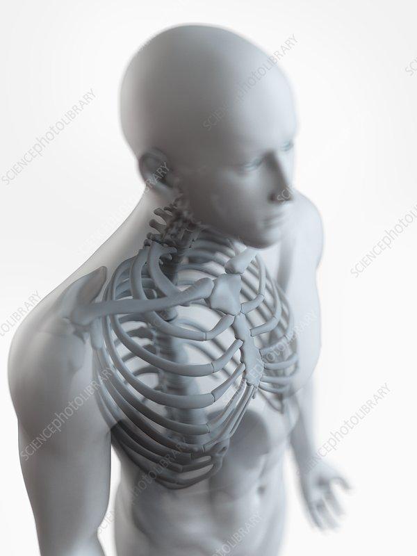 Illustration of the male skeleton