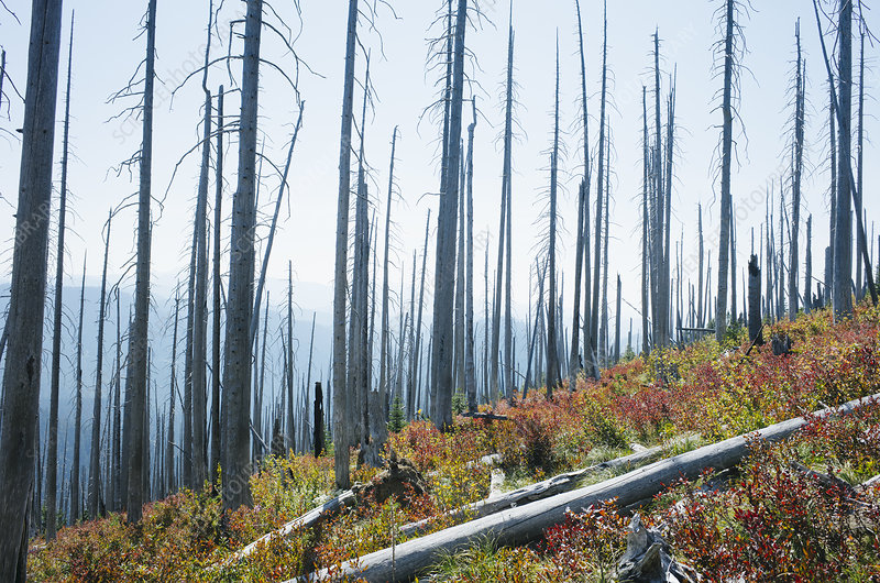 Fire burned forest and new autumn growth