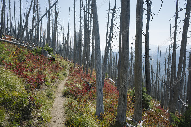 Track through fire damaged forest in autumn