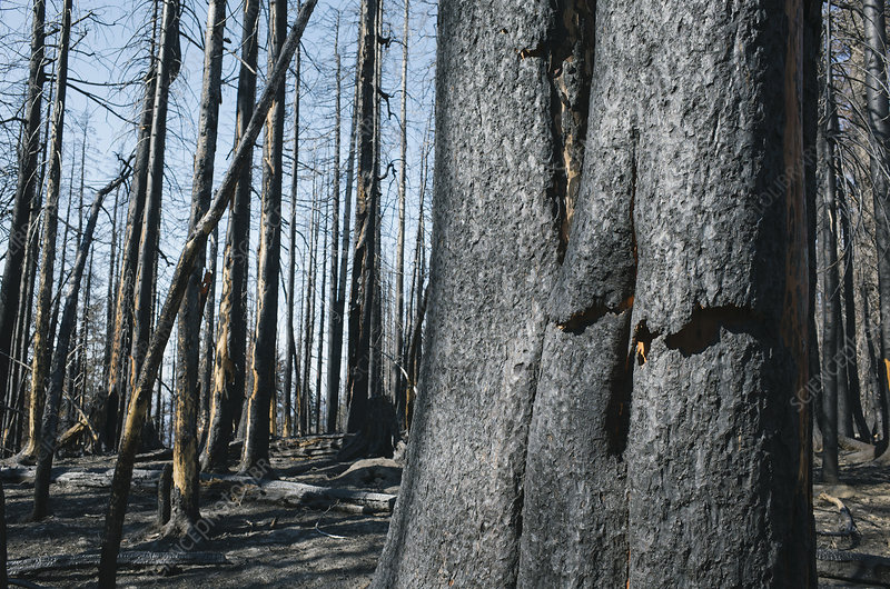Detail of burned tree and forest from the Norse Peak fire