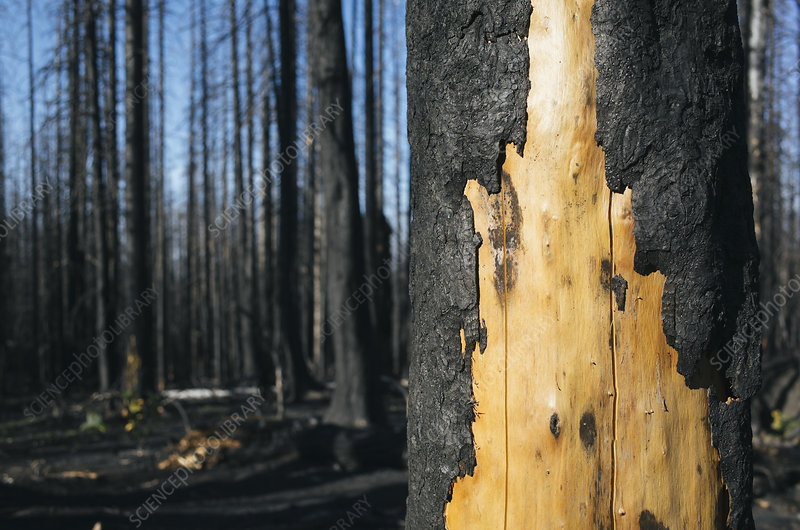 Burned tree and forest from the Norse Peak fire