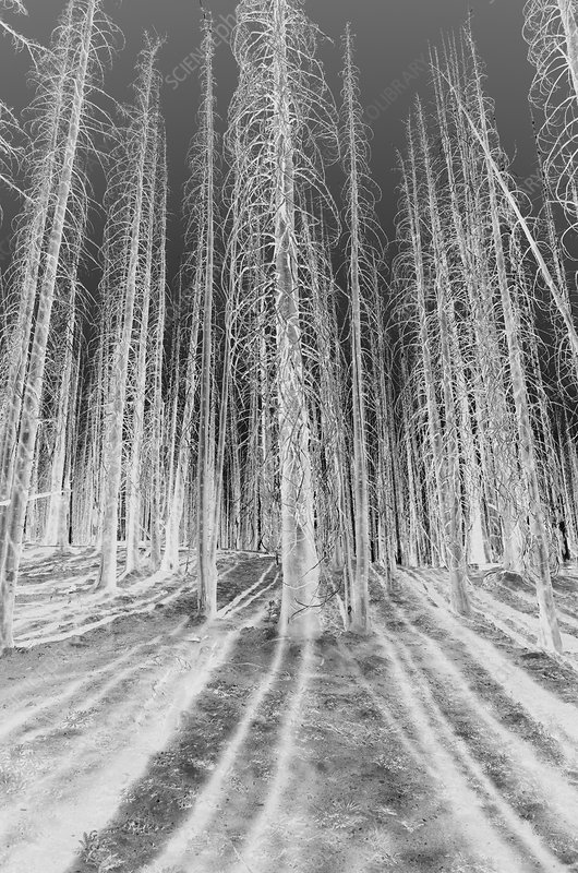 Fire damaged trees in the forest of the Norse Peak Fire