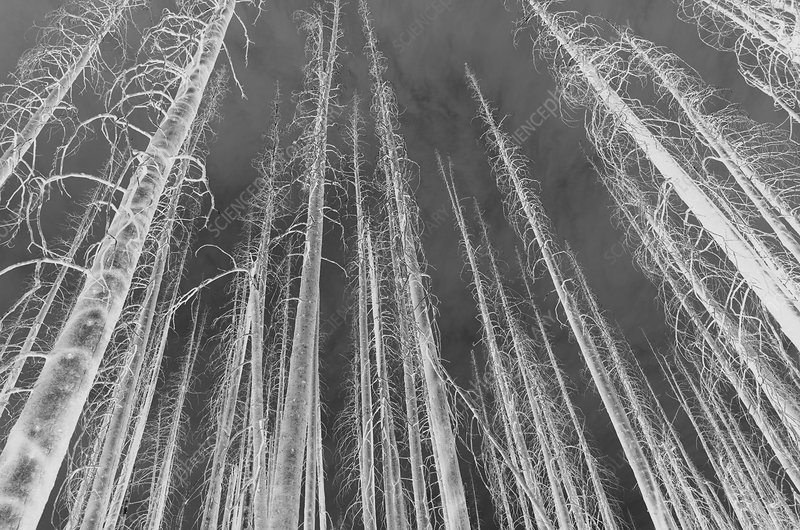 Norse Peak fire damaged trees, black and white image