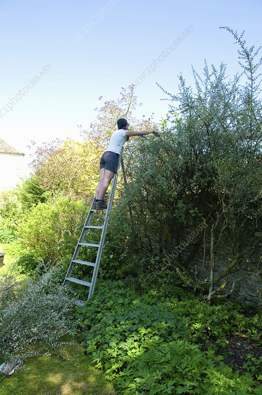 A woman cutting and trimming a tall mature hedge